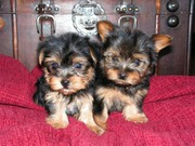 Healthy tea cup yorkie puppies for adoption ( carolina_kiki@yahoo.com